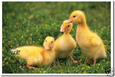 Used, Three Baby Ducklings - Cute Animals Birds Print  POSTER for sale  Shipping to Canada